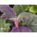 Fluweelplant Gynura aurantiaca