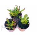 Zonnebekerplant 'Heliamphora starter set 3 plants'