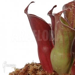 Heliamphora ciliata (M)