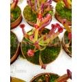 Zonnebekerplant 'Heliamphora heterodoxa starter