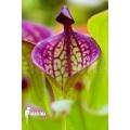 Zonnebekerplant 'Heliamphora macdonaldae'