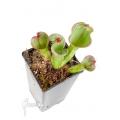 Zonnebekerplant 'Heliamphora macdonaldae XL non tc clone C'