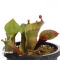 Zonnebekerplant 'Heliamphora minor 'Giant' 'Auyan' 'M'