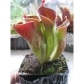 Zonnebekerplant `Heliamphora minor (Auyan)'