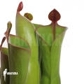 Zonnebekerplant `Heliamphora neblinae var. parva (04H13)'