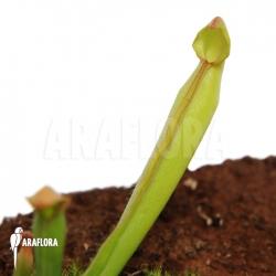 Heliamphora nutans (S)
