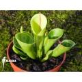 Zonnebekerplant 'Heliamphora x heterodoxa x minor 'Starter'