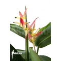 Heliconia olympic dream 'Heliconia psittacorum' 'Hawaii'