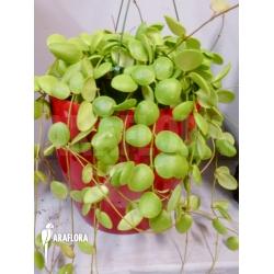 Hoya brevialata Sulawesii