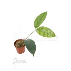 Hoya campanulata 'Yellow'