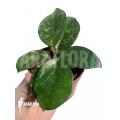 Hoya carnosa Freckles Splash