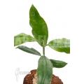 Hoya imperalis 'Red'