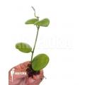 Hoya kastbergii starter