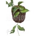 Hoya kenejiana albomarginata