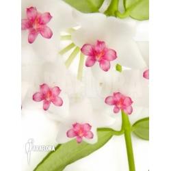 Hoya lanceolata ssp bella