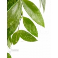 Hoya memoria formerly gracilis