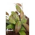 Hoya merrillii (long leaf) 'L'