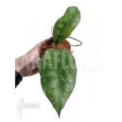 Hoya sp perak Teddy Bear 'leafcutting'