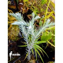 Huperzia 'Lycopodium' goebelii