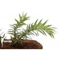 Huperzia 'Lycopodium' goebelii 'S'