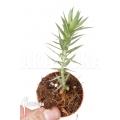 Huperzia 'Lycopodium' goebelii 'Starter'