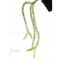Huperzia 'Lycopodium' phlegmaria'L'