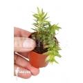 Huperzia 'Lycopodium' phlegmaria 'Starter'