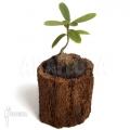 Mierenplant 'Hydnophytum formicarum'