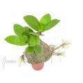 Mierenplant 'Hydnophytum formicarum' 'Starter'