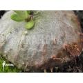 Mierenplant 'Hydnophytum mosleyanum' 'Type a'