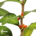 Mierenplant 'Hydnophytum mosleyanum'