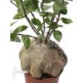 Mierenplant 'Hydnophytum papuanum XXL'