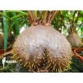 Mierenplant 'Hydnophytum perangustum'