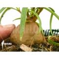 Mierenplant 'Hydnophytum perangustum'  'M'