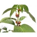 Mierenplant 'Hydnophytum radicans XXL'