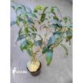 Mierenplant 'Hydnophytum simplex' 'XL'