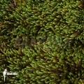 Hypnum mos