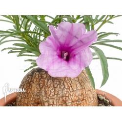 Ipomoea bolusiana L flower
