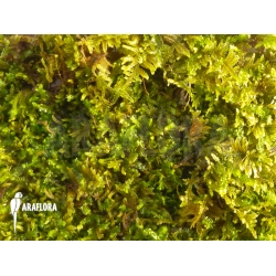 Java Mos Vesicularia dubyana small type