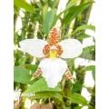 Orchidee 'Lemboglossum rossii'