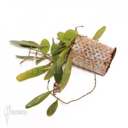 Lemaphyllum microphyllum