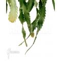 Lepismium houlletianum var. regnellii