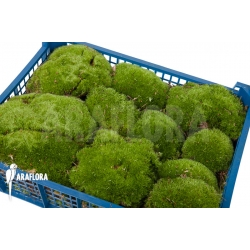 Leucobryum glaucum cradle 'Cushion moss' XL