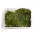 Kussenmos (plastic box) 'Leucobryum glaucum'