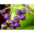 Bromelia ´Lymania smithii´