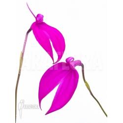 Masdevallia coccinea pink