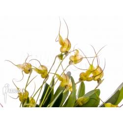 Masdevallia nifidica 'yellow'
