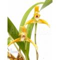 Orchidee 'Maxillaria punctata'