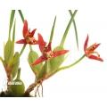Orchidee 'Maxillaria tenuifolia'