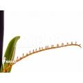 Orchidee 'Microterangis hildebrandtii'